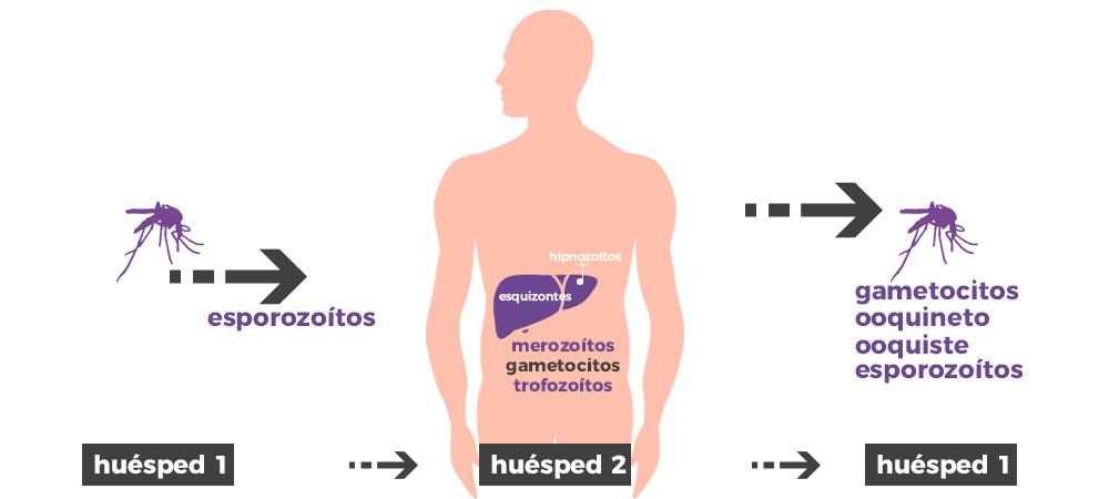 Ciclo biológico de la malaria: evolución del Plasmodium