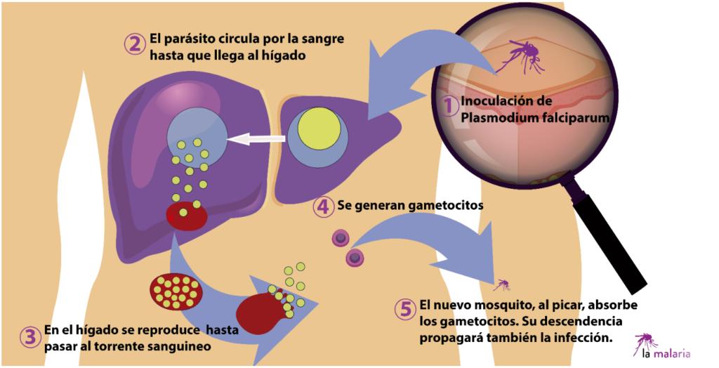 ciclo plasmodium